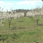 Sve češći zasadi trešnje u opštini Zaječar