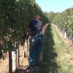 Završena je ovogodišnja berba grožđa u Negotinskoj krajini