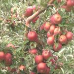 Negotin: Završena je ovogodišnja berba jabuke u Karbulovu