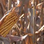 Preventivne mere za proizvodjače i skladištare kukuruza
