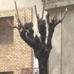 JKP Higijena u Zaječaru uveliko radi na jesenjem održavanju drvoreda u gradu