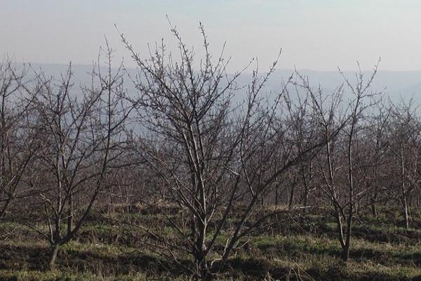 Kontinentalno voće dobro podnosi vremenske prilike