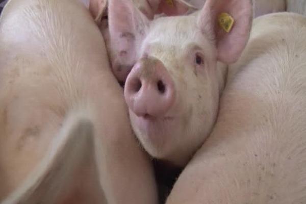 Uskoro podsticaji za stočarstvo (VIDEO)