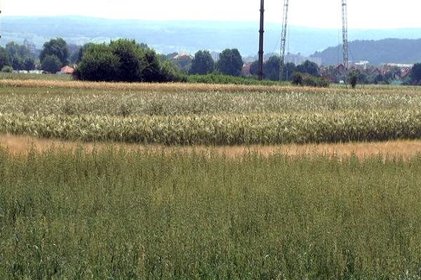 Dani polja u Zaječaru pomažu pri odabiru pšenice za setvu