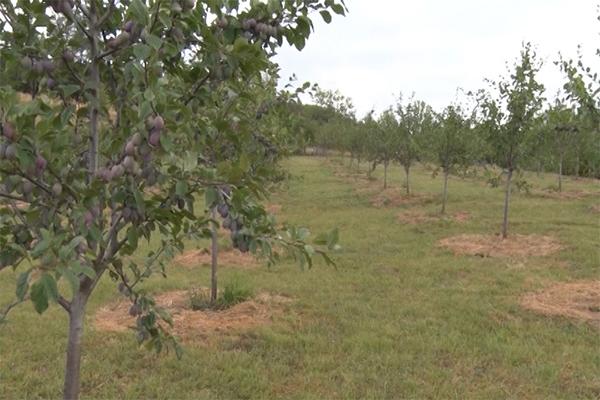 SAVETI STRUČNJAKA: Šta raditi sa zasadima voća tokom kišnih dana