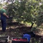SAVETI: Šta raditi sa sadnicama višnje u narednom periodu