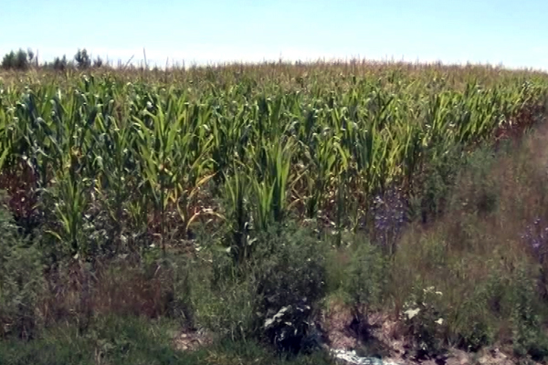Smanjem prinos pšenice, kukuruz visokog kvaliteta