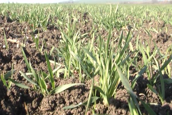 Preporuke stručnjaka jesu da se sačeka sa prihranom pšenice