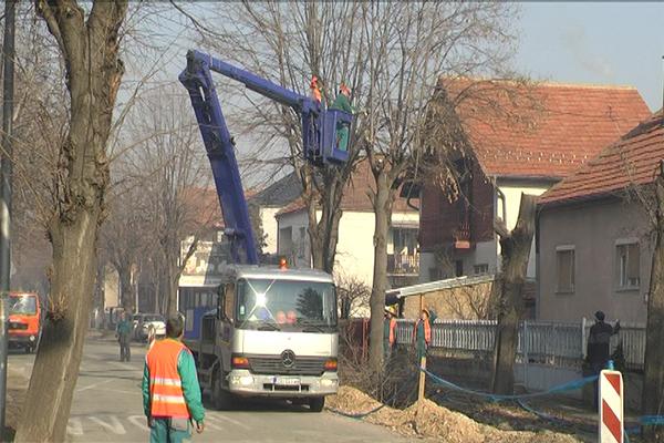 ZAJEČAR: U Ivana Milutinovića posečene 4 lipe (VIDEO)