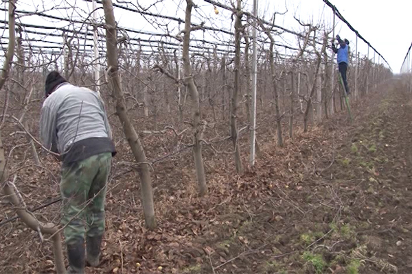 Vremenski uslovi su idealni za orezivanje voćnjaka (VIDEO)
